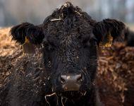 Jól bírják a hideget a szőregi szarvasmarhák | 2021. január 11.  hétfő | Fotó: Szabó Luca, szeged.hu