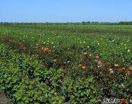 Rózsás-e a szőregi rózsások helyzete? | 2012-06-21