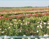 Szőregi Rózsaünnep 2003