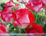 Szőregi Rózsaünnep 2006   2006-06-24