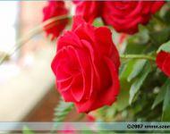 Szőregi Rózsaünnep 2007   2007-06-30