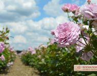 XVII. Szőregi Rózsaünnep