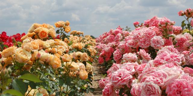 Szőregi rózsatő