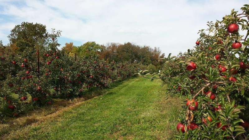 December 31-ig lehet bejelenteni az engedély nélkül telepített gyümölcsültetvényeket