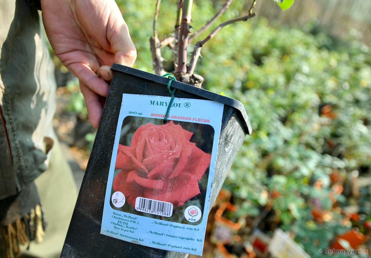 A szőregi rózsa fennmaradásáért dolgoznak
