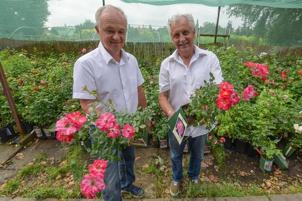 Hamarosan hungarikummá válhat a szőregi rózsa