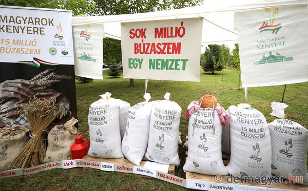Magyarok kenyere: 25 mázsa búzát gyűjtöttek Szőregen