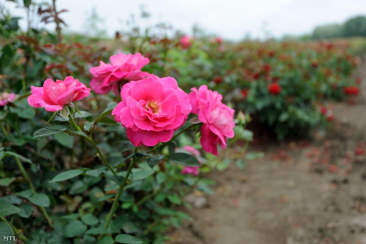Tragikus sorsa jutott az ország legnagyobb rózsatermelője