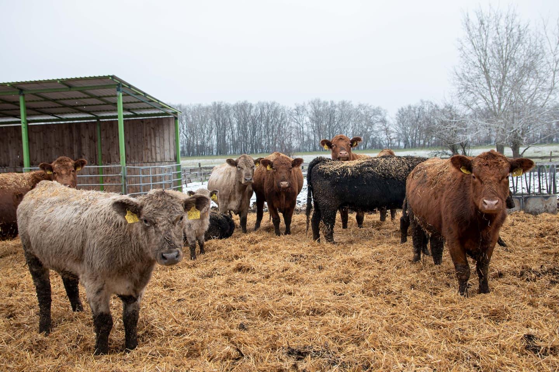 Jól bírják a hideget a szőregi szarvasmarhák
